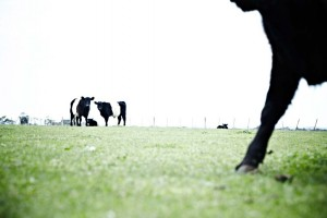 swan bay farm, our paddock to plate